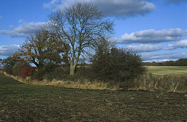 Beskrivelse: læhegn med gamle træer