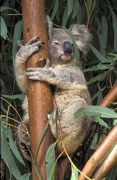 Koalabjørn phascolarctos cinereus natureeyes martin rungø